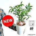 NEW!! 縁結びの木 梛(ナギ) 白色プラスチック鉢 5号サイズ 熊野三山の御神木 ナギの木 ギフトに最適ITEMを♪ …