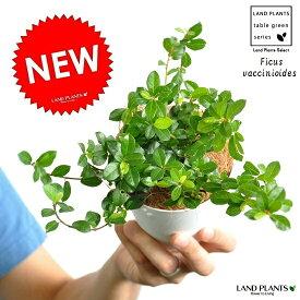 フィカスシャングリラ(つる性ガジュマル) 4号 白色プラスチック鉢セット シャングリラ テリハイヌビワ Ficus vaccinioides 敬老の日・ポイント消化・観葉植物
