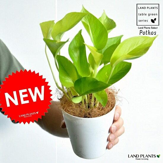 【お試しサイズ】 NEW!! ポトスライム 白色プラスチック鉢セット 4号サイズ ライムポトス・ツル性の植物・ポトス・ポイント消化・観葉植物 Epipremnum aureum Lime・サトイモ科・エピプレナム