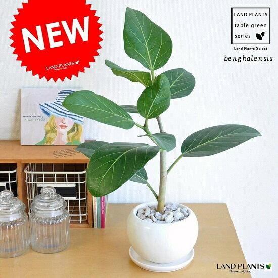 ベンガレンシス 白色 大丸陶器 ゴムの木 ホワイト・陶器鉢・鉢・丸鉢