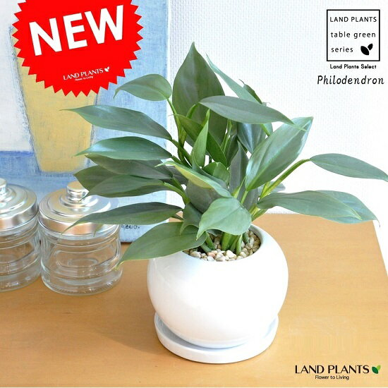 NEW!! フィロデンドロン シルバーメタル 白丸陶器鉢に植えた Philodendron ツル性の植物・ポトス・ポイント消化・観葉植物・送料無料