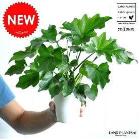 セローム 白色 プラスチック鉢 4号 ヒトデカズラ フィロデンドロン サトイモ 観葉植物・ポイント消化・苗・苗木