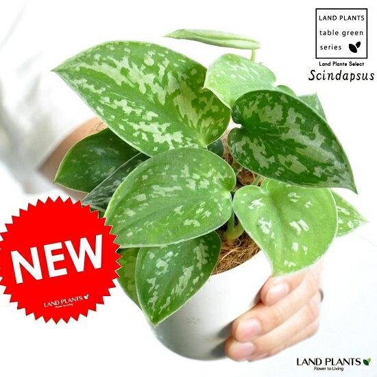 【お試しサイズ】 NEW!! スキンダプサス(シラフカズラ) 3号 白色プラスチック鉢 Scindapsus pictus・ツル性の植物 ピクタス・ポトス・ポイント消化 観葉植物
