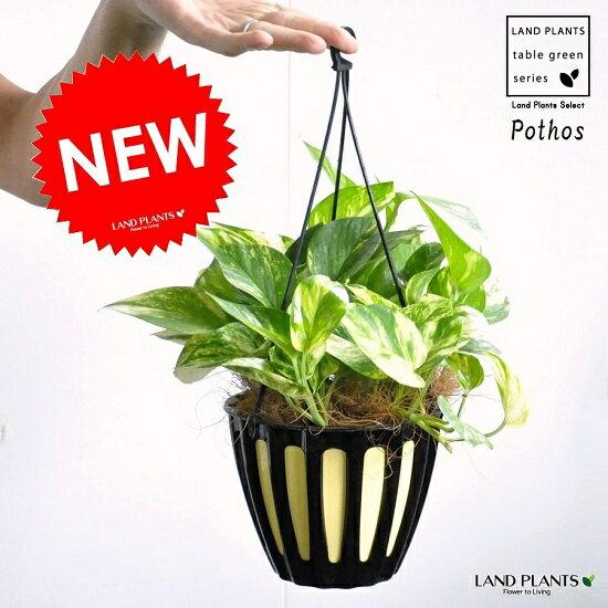 NEW!! ポトス(斑入り) 5号 吊り プラスチック鉢 ハブカズラ・Pothos・ツル性の植物・吊り鉢 ポイント消化・観葉植物