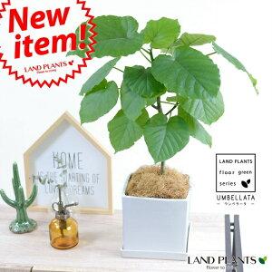 ウンベラータ 白色 キューブ陶器 Mサイズ【観葉植物】 ホワイト・陶器鉢・植木鉢・四角・スクエア
