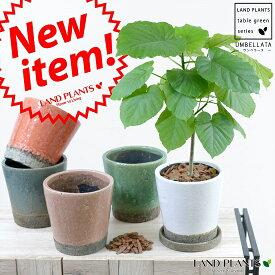 選べる6色 ウンベラータ ラフストーン陶器鉢  【観葉植物】 5号・6号