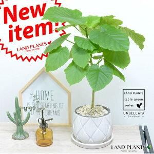 ウンベラータ 白色 ラチス模様 ラウンド型 陶器鉢 ホワイト 【観葉植物】 5号・6号 白色陶器鉢 植木鉢