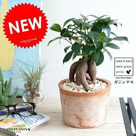 ガジュマル (幹太タイプ) モスポット シリンダー型 (茶色)テラコッタ鉢 幸福をもたらす 多幸の樹 精霊 がじゅまるの木 人参 素焼 鉢植え 鉢 苗 苗木 ブラウン 茶 オレンジ 観葉植物