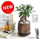 ガジュマル(幹太タイプ) ウッド風 ペイント陶器鉢 Sサイズ 幸福をもたらす 多幸の樹 精霊 がじゅまるの木 鉢植え 鉢…