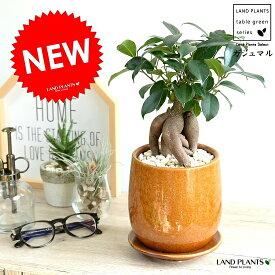 ガジュマル (オレンジ) 落ち着きある ラウンド型 陶器鉢 幸福をもたらす 多幸の樹 精霊 がじゅまるの木 鉢植え 鉢 橙 黄 苗 苗木 丸 観葉植物