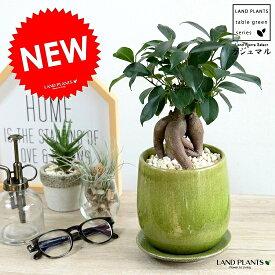 ガジュマル (グリーン) 落ち着きある ラウンド型 陶器鉢 幸福をもたらす 多幸の樹 精霊 がじゅまるの木 鉢植え 鉢 緑 黄緑 苗 苗木 丸 観葉植物