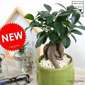 ガジュマル 落ち着きある ラウンド型 (グリーン) 陶器鉢 幸福をもたらす 多幸の樹 精霊 がじゅまるの木 鉢植え 鉢 緑 黄緑 苗 苗木 丸 観葉植物
