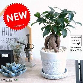 ガジュマル クレータ加工 (白色) 釉薬陶器鉢 幸福をもたらす 多幸の樹 精霊 がじゅまるの木 鉢植え 鉢 ホワイト 灰色 苗木 丸 観葉植物 正月 挙式 引出物