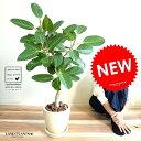 ベンガレンシス エッグ型 ラウンド 陶器鉢 (クリーム色)鉢植え 大型 ベンガルゴム ゴム ゴムの木 ンガルボダイジュ …