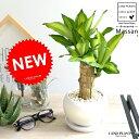 幸福の樹 ドラセナ (マッサン) 白色 丸形 陶器鉢 鉢植え マッサンゲアナ マッサンギアナ リュウゼツラン リュウケツ…