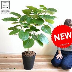ウンベラータ 8号 割れない (黒色) セラアート鉢 鉢植え 大型 観葉植物 (自然樹形) 【ギフト配送可】8号鉢 送料無料 黒 ブラック 丸