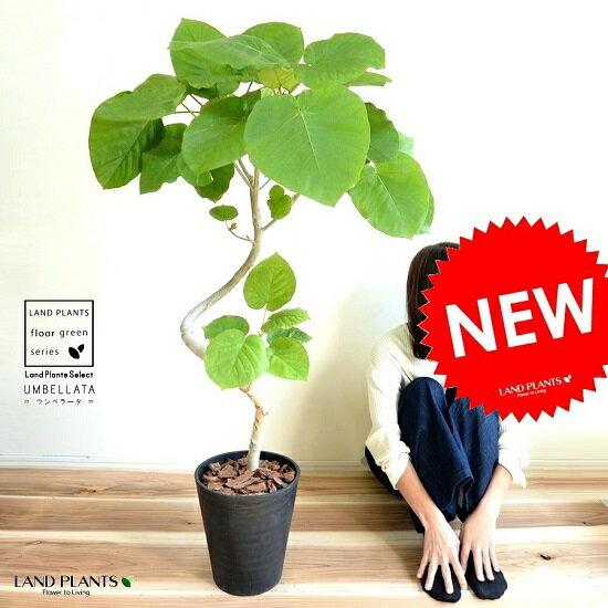 ウンベラータ (曲がり)3Dカーブ 黒色 セラアート鉢 8号 鉢植え 鉢 大型 苗 苗木 黒 ブラック 丸 ゴムの木 ゴム 観葉植物 送料無料 プラ鉢 プラスチック