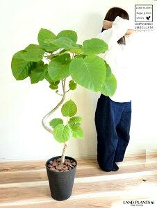 ウンベラータ (曲がり)黒色 セラアート鉢 8号 3Dカーブ 鉢植え 鉢 大型 苗 苗木 黒 ブラック 丸 ゴムの木 ゴム 観葉植物 送料無料 プラ鉢 プラスチック
