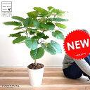 ウンベラータ 8号 割れない (白色) セラアート鉢 (自然樹形) 鉢植え 大型 観葉植物 【ギフト配送可】8号鉢 送料無料