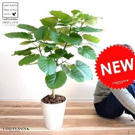 ウンベラータ 8号(白色) セラアート鉢 (自然樹形) 鉢植え 大型 観葉植物 【ギフト配送可】8号鉢 送料無料 割れない