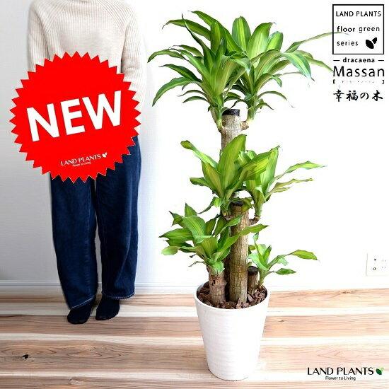 幸福の木 ドラセナ (マッサン) 白色 セラアート鉢 8号 ドラセナマッサン マッサンゲアナ ギアナ 鉢植え 鉢 丸 白 ホワイト 観葉植物 幸福の樹 送料無料
