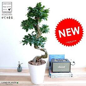 ガジュマル (曲がり盆栽) 白色 セラアート鉢 8号 鉢植え がじゅまる 大型 昇り竜 鉢 白 ホワイト 丸 観葉植物 送料無料 bonsai