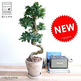 ガジュマル (曲がり盆栽) エッグ型 ラウンド 陶器鉢 茶色 鉢植え 陶器 がじゅまる 大型 昇り竜 鉢 茶 ブラウン ベージュ 砂色 丸 観葉植物 送料無料 bonsai