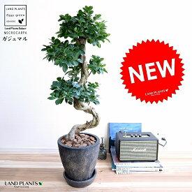 ガジュマル (曲がり盆栽) エッグ型 ラウンド 陶器鉢 黒色 鉢植え 陶器 がじゅまる 大型 昇り竜 鉢 黒 ブラック 砂色 丸 観葉植物 送料無料 bonsai