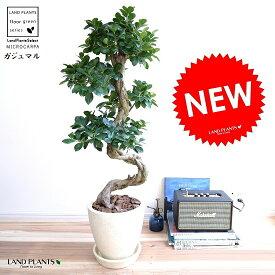 ガジュマル (曲がり盆栽) エッグ型 ラウンド 陶器鉢 クリーム色 鉢植え 陶器 がじゅまる 大型 昇り竜 鉢 白 白色 ホワイト オフホワイト 砂色 丸 観葉植物 送料無料 bonsai