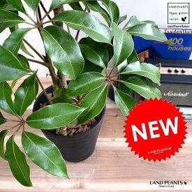 ツピタンサス (黒色) セラアート鉢 8号 鉢植え シェフレラ ピュックレリ 大型 鉢 黒 ブラック 丸 観葉植物 送料無料