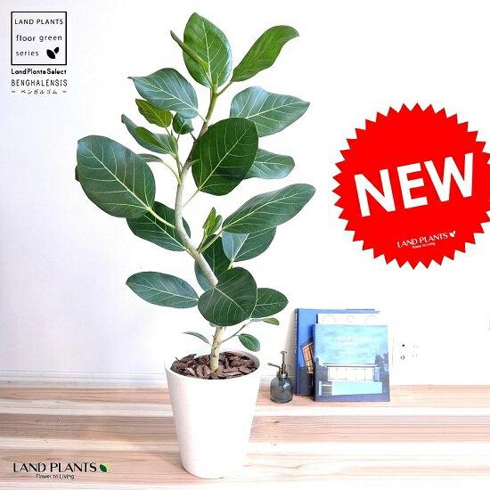 ベンガルゴム (緩やかカーブ) 8号 セラアート鉢 白色 竜 鉢植え 大型 ベンガレンシス ゴム ゴムの木 べンガルボダイジュ 白 ホワイト 丸 観葉植物 丸い葉 送料無料 banyan バンヤンジュ