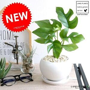 ヒメモンステラ 白色 丸形 陶器鉢(黄色小石) 鉢植え苗 苗木 ミニモンステラ 観葉植物 白 丸 ホワイト 送料無料