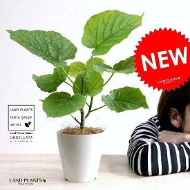 【お試し】 ウンベラータ 白色 プラスチック鉢 4号 (南) 卓上サイズ 鉢植え 鉢 苗 苗木 観葉植物 白 ホワイト 丸