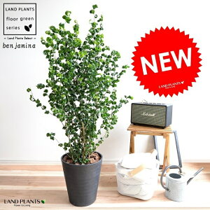 ベンジャミン(バロック)黒色セラアート鉢8号鉢植え鉢苗苗木大型観葉植物黒ブラックラウンド丸送料無料