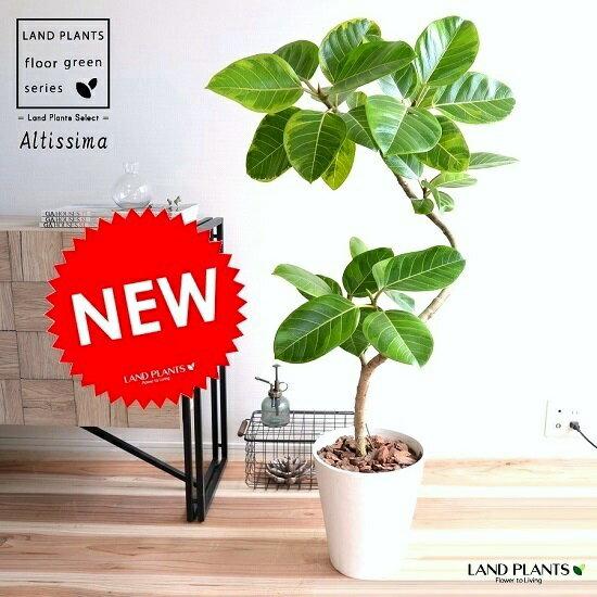 アルテシーマ 3Dカーブ (曲がり) 白色 セラアート鉢 8号 鉢植え 大型 斑入り ゴム ゴムの木 葉模様 白 ホワイト 丸 観葉植物 丸い葉 送料無料