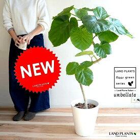 ウンベラータ(3Dカーブ曲がり) 8号 白色 セラアート鉢 鉢植え 大型 鉢 苗 苗木 観葉植物 送料無料 ホワイト 白 ラウンド 曲げ らせん