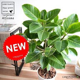 アルテシーマ (自然樹形) 8号 白色 セラアート鉢 鉢植え 大型 斑入り ゴム ゴムの木 葉模様 白 ホワイト 丸 観葉植物 丸い葉 送料無料