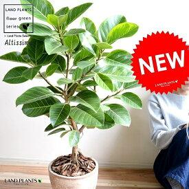 アルテシーマ バリエガータ (自然樹形) 茶色 エッグラウンド 陶器鉢 8号 鉢植え 大型 斑入り ゴム ゴムの木 葉模様 茶 ブラウン 砂色 ベージュ 丸 観葉植物 送料無料