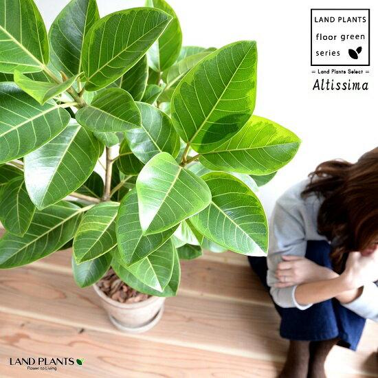 アルテシーマ (自然樹形) 茶色 エッグラウンド 陶器鉢 鉢植え 大型 8号 斑入り ゴム ゴムの木 葉模様 茶 ブラウン 砂色 ベージュ 丸 観葉植物 送料無料