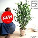 ベンジャミン (バロック) 茶色 エッグ型 ラウンド 陶器鉢 8号 鉢植え 鉢 苗 苗木 大型 観葉植物 茶 ブラウン 砂色 …
