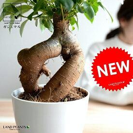 ガジュマル (幹太) プラスチック鉢 4号 白色 鉢植え 鉢 苗 苗木 観葉植物 白 ホワイト 丸 ラウンド
