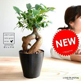 ガジュマル (幹太) プラスチック鉢 4号 黒色 鉢植え 鉢 苗 苗木 観葉植物 黒 ブラック 丸 ラウンド