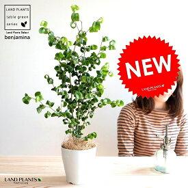 【お試し】 ベンジャミン(バロック) 白色 プラスチック鉢 4号 鉢植え 鉢 苗 苗木 観葉植物 白 ホワイト 丸 ラウンド