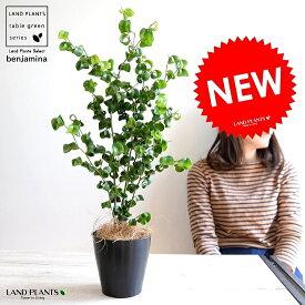 【お試し】 ベンジャミン (バロック) 黒色 プラスチック鉢 4号 鉢植え 鉢 苗 苗木 観葉植物 黒 ブラック 丸 ラウンド