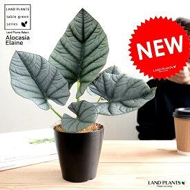 【お試し】 アロカシア ネブラ(エレーン) 黒色 プラスチック鉢 4号 エレン 鉢植え 鉢 苗 苗木 観葉植物 黒 ブラック 丸 ラウンド