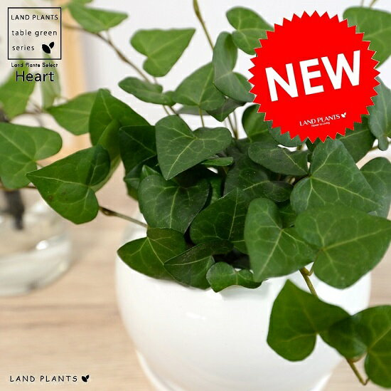 ハートアイビー (サーク) 白色 丸形 陶器鉢 鉢植え 植木 苗木 苗 なえ 観葉植物 白 ホワイト 丸 白丸 ラウンド ボール