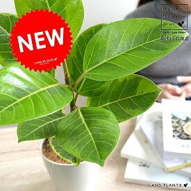 アルテシーマ 白色 プラスチック鉢 4号 アルティシマ バリエガータ 斑入り 黄色い葉 鉢植え 苗木 苗 白 ホワイト 丸形