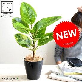 【お試し】 アルテシーマ 4号 黒色 プラスチック鉢 アルティシマ バリエガータ 斑入り 黄色い葉 鉢植え 苗木 苗 黒 ブラック 丸 ラウンド