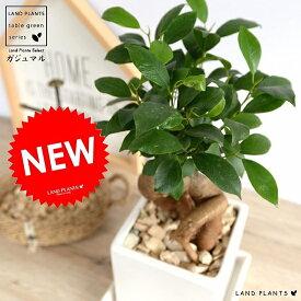 ガジュマル (幹太タイプ) キューブ 陶器鉢 白色 Sサイズ 鉢植え 鉢 なえ 苗木 苗 観葉植物ホワイト 白 四角 スクエア 送料無料