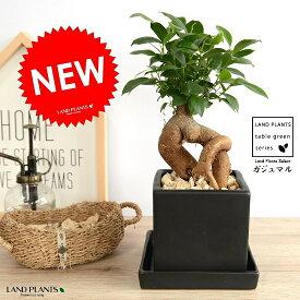 ガジュマル (幹太タイプ) キューブ 陶器鉢 黒色 Sサイズ 鉢植え 鉢 なえ 苗木 苗 観葉植物ブック 黒 四角 スクエア 送料無料
